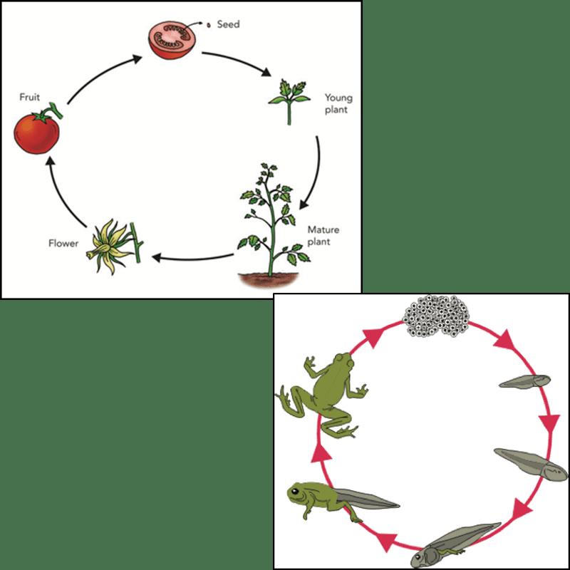 Animal-plant lifecycle